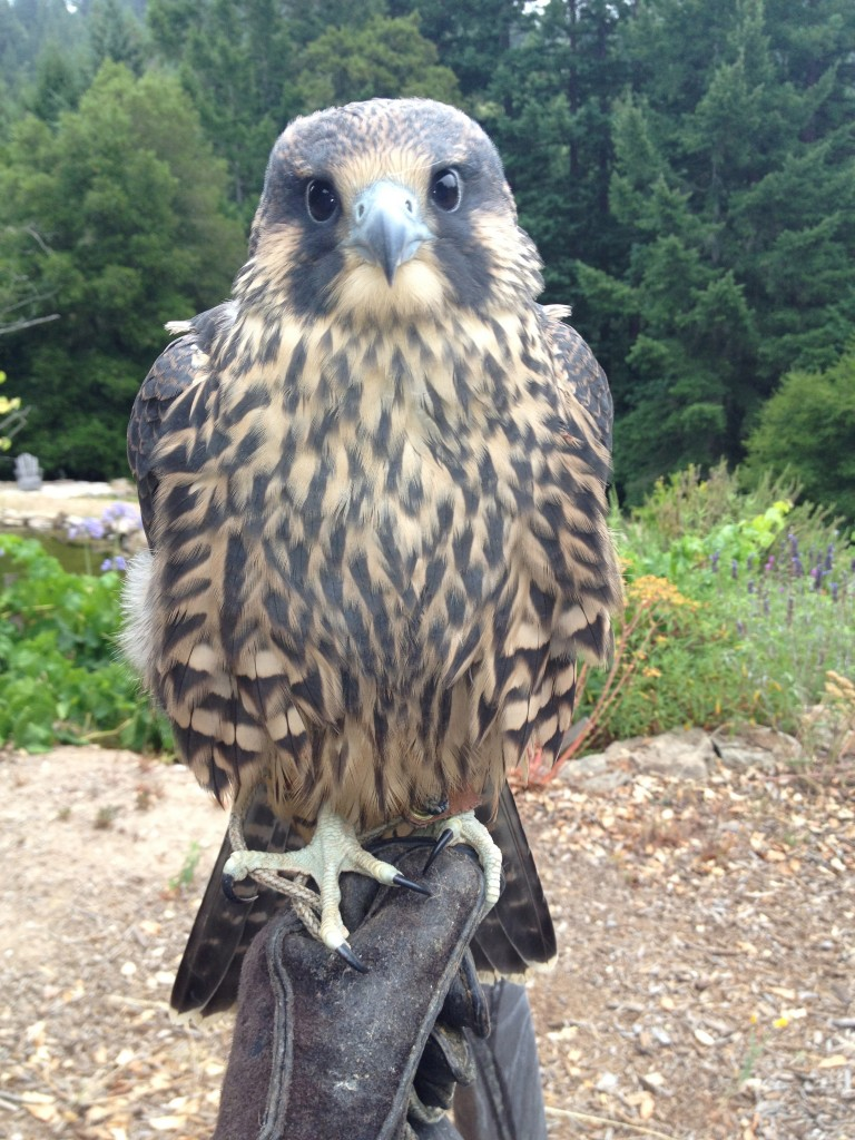CRWN's own Quixote a juvenile Peregrine Falcon. How cute is he ?